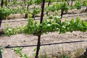 The same vine after shoot thinning. It may not look totally distinct, but note the sun flecking inside the canopy is much better after thinning. The idea here is to give each cluster a bit of niche space to grow, hang and ripen without being nested up with other clusters (which can shade the fruit and cause off flavors). Photo / caption credit: winemakermag.com.