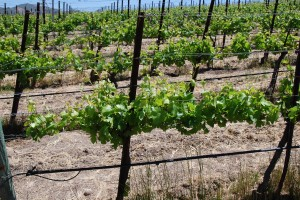 Here's the vine before shoot thinning. Note that the shoots near the head of the vine and the end of the vine are crowded and bunched up. Photo / caption credit: winemakermag.com.