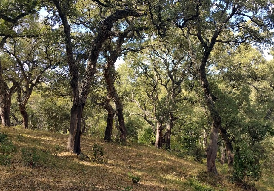 Gallura, cork forest